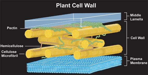Cell Wall Dburkhammer Cell Project