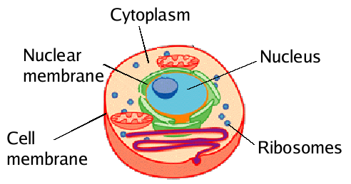 Nuclear Membrane moreover Genus moreover Download This Leaf Clip Art 3657554 likewise Biology Tutor in addition Mesh info. on chloroplast